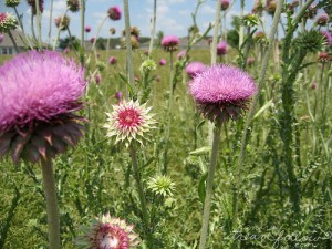 photo credit: Giant thistle via photopin (license)