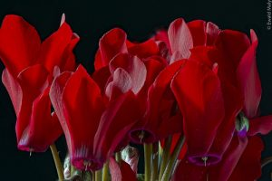 photo credit: Alzheimer1 Cyclamen via photopin (license)